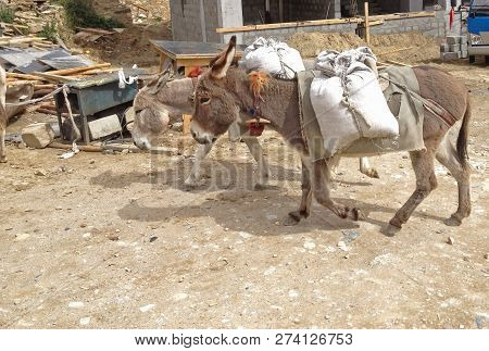 Working Animal used as draught or pack animals in underdeveloped areas, Donkeys (Ass, Mule, Jack) carrying sacks in construction site instead of car transportation. Rural Life Traditional Animal Labor poster