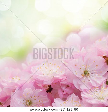 Border Of Blossoming Pink Sacura Cherry  Tree Branches In Garden