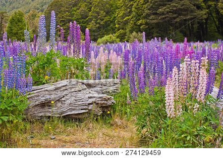 Beatiful Colorful Lupins Blooming In New Zealand