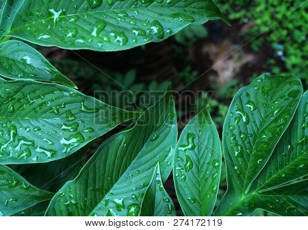 Natural Background Green From Nature Background Natural Branches. Green Leaf After The Rain Beautifu