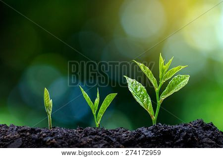 Development Of Seedling Growth Planting Seedlings Young Plant In The Morning Light On Nature Backgro