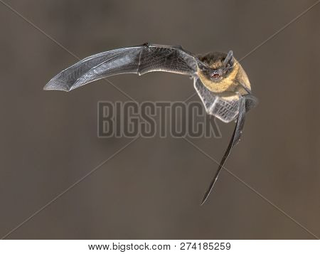 Pipistrelle Bat (pipistrellus Pipistrellus) Flying On Attic Of Church In Darkness On Brown Backgroun
