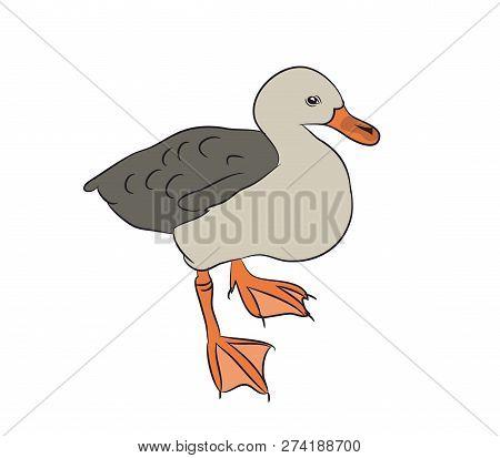 Vector Illustration Duck Drake. Vector, White Background