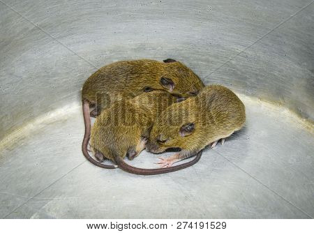Baby Rat Trap / Group Of Three Baby Fur Brown Rat Trap In Bucket Aluminum Bin