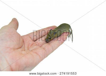 baby rat in hand / pitiable baby fur brown rat trap in hand - rat wild Rattus norvegicus