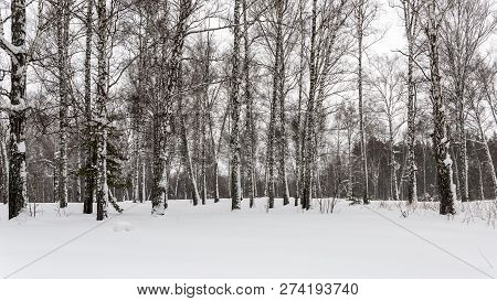 Snow-covered Birch On The Edge Of A Grove