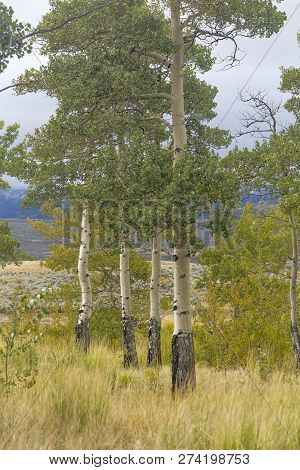 Cluster Of Aspen Trees In Wyoming Valley, Early Autumn