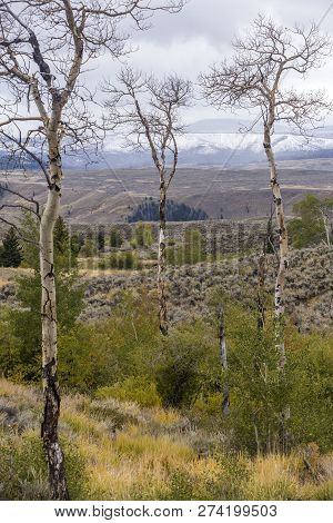 Bare Aspen Trees In Early Autumn On Wyoming Hillside