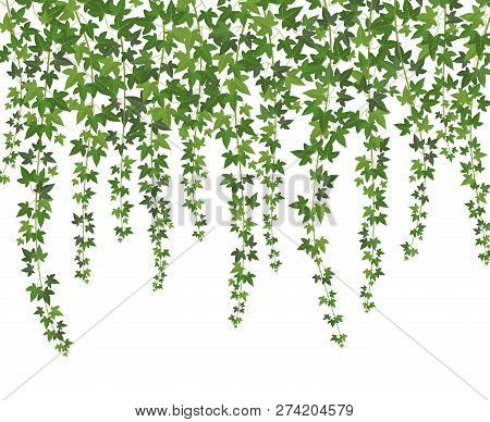 Green Ivy. Creeper Wall Climbing Plant Hanging From Above. Garden Decoration Ivy Vines Vector Backgr