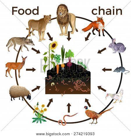 Food Chain Animals Vector Photo Free Trial Bigstock