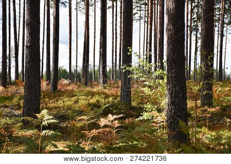 Colorful Forest Floor In A Bright Pine Tree Forest By Early Fall Season