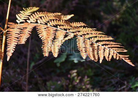 Closeup Of A Beautiful Bracken Plant By Fall Season