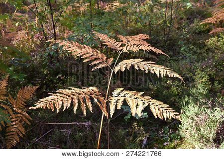 Bright Growing Bracken Plant In Fall Season Colors