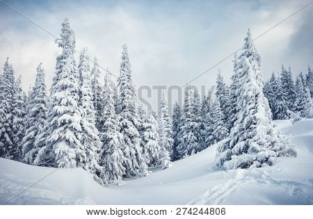 Frozen white spruces on a frosty day. Location Carpathian mountain, Ukraine, Europe. Alpine ski resort. Fabulous winter wallpaper. Winter greeting card. Happy New Year! Discover the beauty of world.