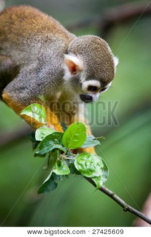 Close-up of a Common Squirrel Monkey (Saimiri sciureus; shallow DOF)