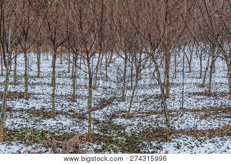 Winter Landscape Of Barren Apricot Trees Growing On Hillside Covered In Snow.