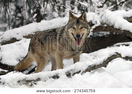 Timber Wolf Hunting In The Forest
