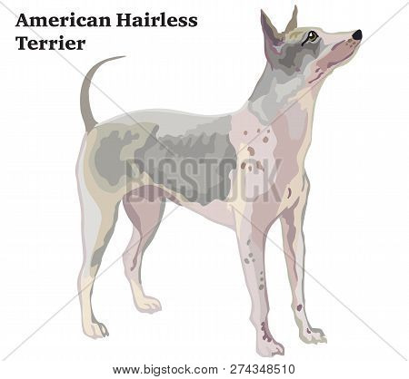 Portrait Of Standing In Profile Dog- American Hairless Terrier, Vector Colorful Illustration Isolate