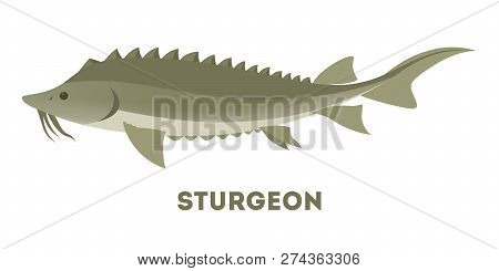 Sturgeon Fish From The Ocean Or Sea.