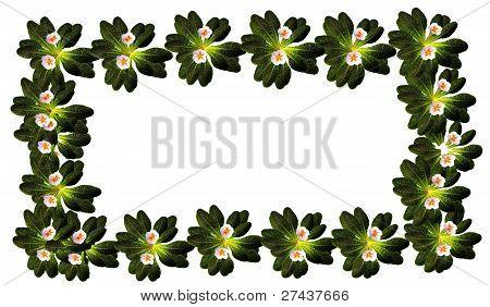 frame of primrose flowers
