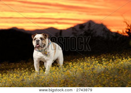 An English Bulldog enjoys an Arizona sunset. poster