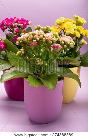 Three Colors Pots With Thee Colors Medical Houseplants Kalanchoe With Flowers Close Up On Trendy Pin