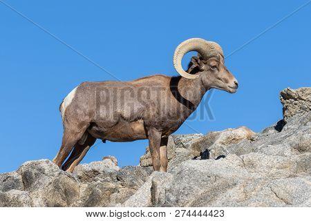 A Nice Desert Bighorn Sheep Ram In The Rocks