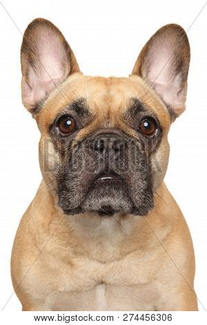 Close-up Of A Young French Bulldog, Isolated On White Background