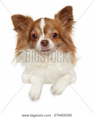 Portrait Of A Young Longhaired, Chihuahua Dog Above Banner, Isolated On White Background. Animal The