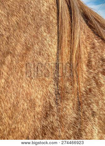 Roan Coat, Mane And Shoulder Of Male Quarter Horse Gelding.