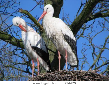 Stork Couple #1