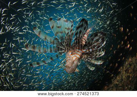 Lionfish hunting sardines fish