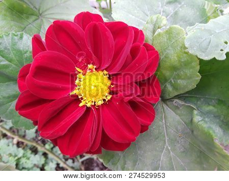 Zonguldak Turkey Red And Yellow Dahlia Flower