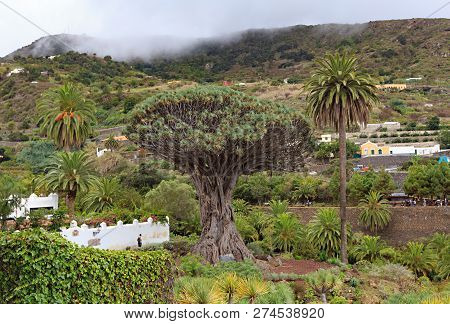 Aincient Dragon Tree In Icod De Los Vinos, Tenerife