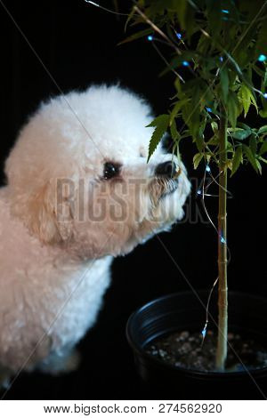 Marijuana Plant. Bichon Frise dog Sniffs a Marijuana Plant. Marijuana Plant with Christmas Lights. Small Dog sniffs a Medical or Recreational Marijuana Plant. Isolated on black. Room for text overlay.