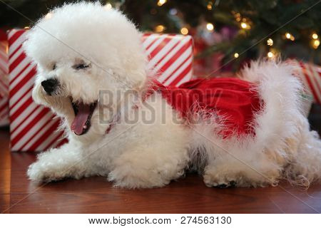Christmas Dog. Small White Dog in a Red Velvet Christmas Dress.  Bichon Frise Christmas. White Puppy in a Christmas Dress.