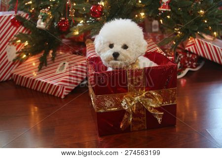 Christmas Dog. A cute white dog sits in a Christmas Box with red wrapping paper and a gold bow. Christmas pets.  Mia the Bichon Frise.
