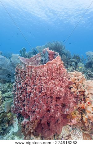 Coral Reef Off Coast Of Roatan With Giant Barrel Sponge