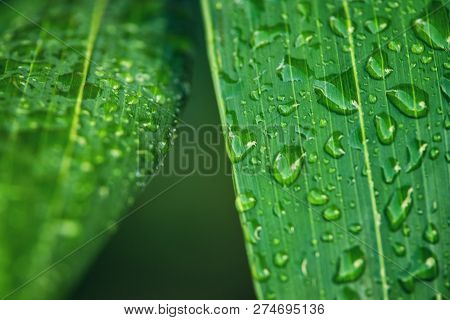 Rain Drops On Palm Leaf Nature Background. Nature Background Of Palm Leaves. Palm Tree Leaves Nature