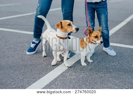 Two Dogs With Unrecognizable Owners On Leashes Have Walk Outdoor, Pose At Asphalt At Street. Mother