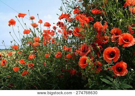 Flower Poppy Meadow Summer Field Red Idyl