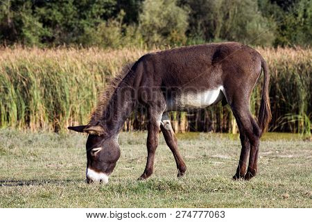 The Brown Donkey Is Grazing Grass Outdoors In Nature, Organic Donkey Breeding Concept.
