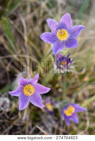 Spring Pasqueflower (pulsatilla Vernalis) Flower. Early Spring Background Of Wild Flowers On Dry Wee