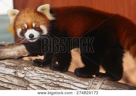 A Chinese Red Panda Stopping As While Walking Up A Fallen Tree Trunk.