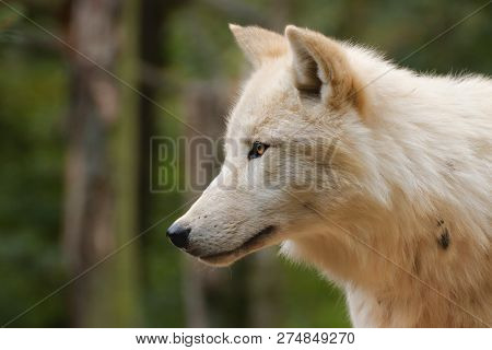 Profile Of An Artistic Wolf In Nature. White Wolf. Photo Of The Animal World. Arctic Wolf In Nature