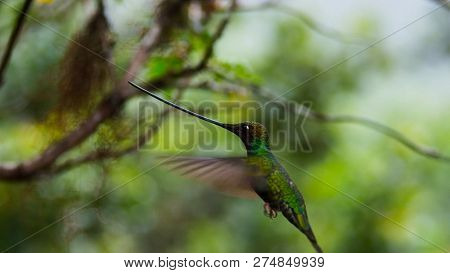 The Sword-billed Hummingbird Is A Neotropical Species From Ecuador, Sword-billed Hummingbird. He Is