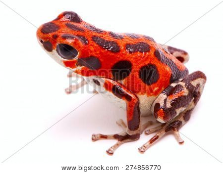 Poison dart or arrow frog, Red Frog Beach, Bastimentos, Bocas del Toro, Panama. Tropical poisonous rain forest animal, Oophaga pumilio isolated on a white background. poster