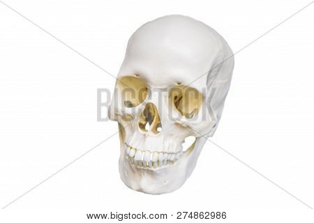Four Skull In A Raw Showing Humans Evolution. Human Evolution Is The Evolutionary Process That Led T