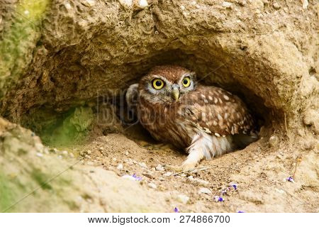 Little Owl ( Athene Noctua) In A Hole.