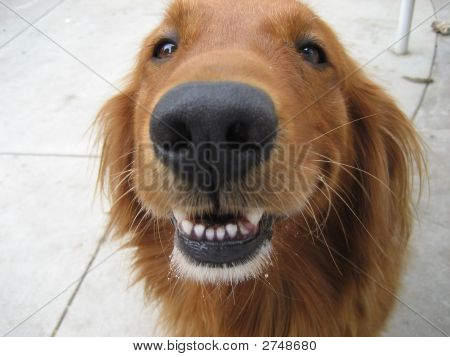 Golden Dog